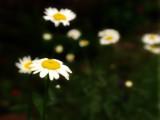 Rain Hat by wheedance, Photography->Flowers gallery