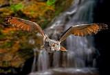 Turkestan Eagle Owl by biffobear, photography->birds gallery