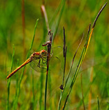 Common Darter by biffobear, Photography->Insects/Spiders gallery