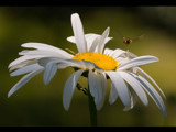 target ; daisy by kodo34, Photography->Flowers gallery