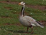 Bar-Headed Goose by biffobear, photography->birds gallery