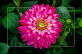 Dahlia Show 57 by corngrowth, photography->flowers gallery