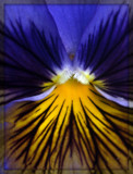 Pansy 2 by ccmerino, photography->flowers gallery