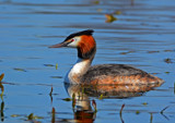Great Crested by biffobear, photography->birds gallery