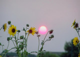 Sunset & Sunflowers by kidder, Photography->Sunset/Rise gallery