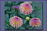 Dahlias in Frame by Ramad, photography->flowers gallery