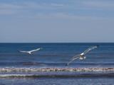 Gone-again Living-free Feel-good/(Jonathon Livingston Seagul by ccmerino, Photography->Birds gallery