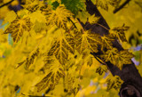 Backyard Maple by Pistos, photography->nature gallery