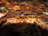 Centipede by Pistos, photography->insects/spiders gallery