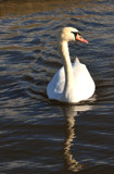 Let's Reflect On Swans by braces, Photography->Birds gallery