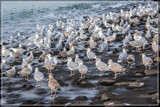 Seagull Convention by corngrowth, photography->birds gallery