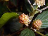 Blackberry by xyccoc, Photography->Macro gallery