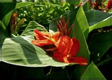 Reclining Canna by trixxie17, photography->flowers gallery
