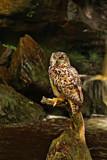European Eagle Owl.. by biffobear, photography->manipulation gallery