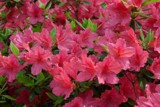 New Azaleas by ted3020, Photography->Flowers gallery
