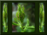 Triptych by wimida, Photography->Flowers gallery