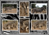 Image: Zebra Collage