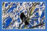 Wintertime 1 (of 4), Blackbird by corngrowth, Photography->Birds gallery