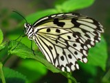 Rice Paper Butterfly by zippee, Photography->Butterflies gallery