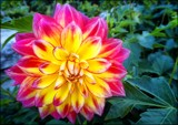 Two Tone Dahlia by LynEve, photography->flowers gallery