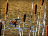 Landing by biffobear, photography->birds gallery