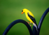 Yellow Finch by Fifthbeatle, photography->birds gallery