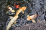 Koi to Enjoy!!--What is it?! by verenabloo, Photography->Water gallery