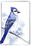 A Bluejay Fan by bfrank, illustrations gallery