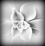 This Fridays Bloom by Starglow, photography->flowers gallery