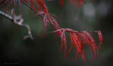 Japanese Maple by nmsmith, Photography->Flowers gallery
