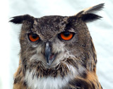 european eagle owl by the_runcorn_womble, Photography->Birds gallery