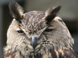 Eurasian eagle owl -Bubo bubo- (Oehoe uil) by cameraatje, Photography->Birds gallery