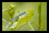 Azure Dragon by kodo34, Photography->Insects/Spiders gallery