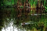 Two Little Ducks by biffobear, photography->water gallery