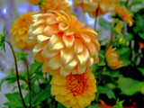 The Dahlia Sports a Halo, and Speaks of Peace! by marilynjane, Photography->Flowers gallery
