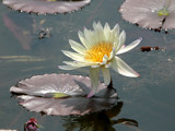 White Water Lily by rahto, Photography->Flowers gallery
