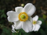 anemone by crockeTT, photography->flowers gallery