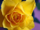 yellow rose by pom1, Photography->Flowers gallery