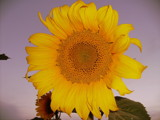 Sunshine by mercy16, Photography->Flowers gallery