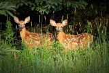 Deer #61 by picardroe, photography->animals gallery