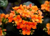Kalanchoe by trixxie17, photography->flowers gallery