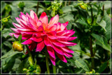 Dahlia Show 70 by corngrowth, photography->flowers gallery