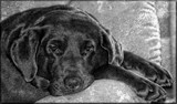 Cocoa Bean- Dog Day Lazy by tigger3, photography->pets gallery