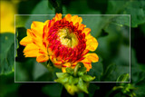 Dahlia Show 52 by corngrowth, photography->flowers gallery
