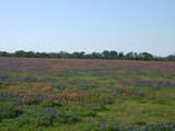 Bluebonnet fields by gabriela2006, Photography->Landscape gallery