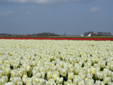 Another postcard from Holland by Paul_Gerritsen, Photography->Flowers gallery