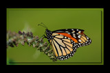 A Tattered Flutterby by tigger3, photography->butterflies gallery