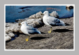 Two Seagulls by gerryp, Photography->Birds gallery