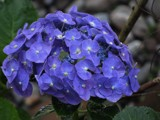 !!! Another Hydrangea !!! by bijantalukdar, photography->flowers gallery
