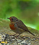 The Fledgling by biffobear, photography->birds gallery
